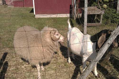ram_goat