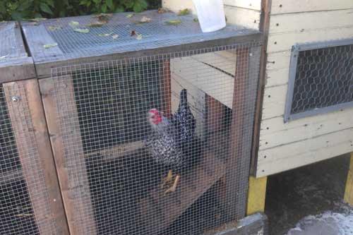 A backyard chicken intro