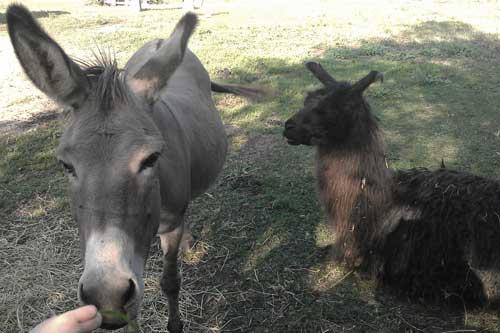 donkey_llama